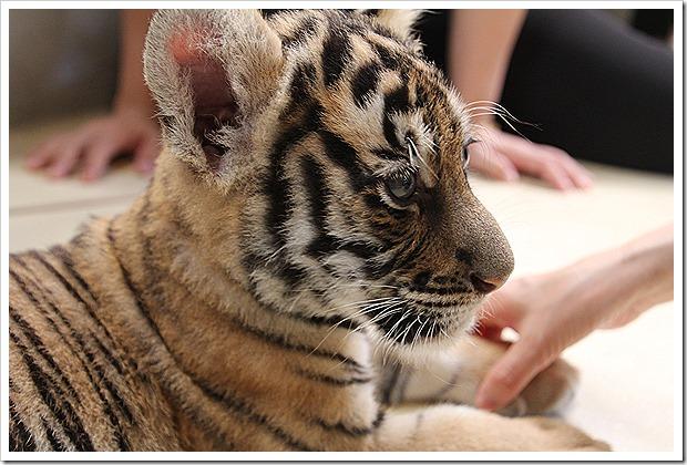 パタヤ・タイガーパーク